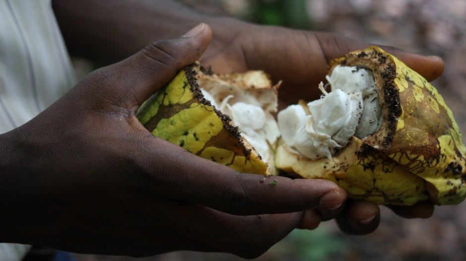 Raw cocoa fruit (Photo: Guy Mullins, via Flickr, CC BY-NC 2.0)