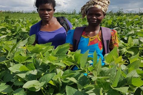 Farmers in Soybean field in Mozambique