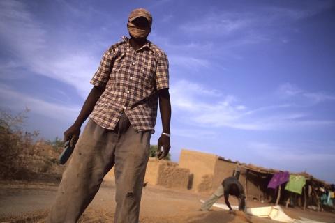 Les agriculteurs balaient après le séchage du riz dans la région de Ségou au Mali. Crédit photo: Guy Bescond