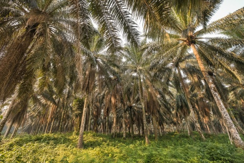 Palm tree plantation near Yangambi, DRC, 2018. Photo by Axel Fassio/CIFOR CC BY-NC-ND