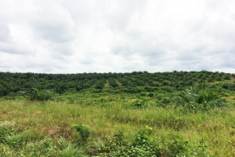A palm plantation in Senjeh, Bomi County (Photo: Sustainable Development Institute)
