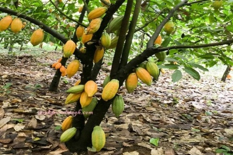 Launch of ASASE cocoa sustainability project in Ghana