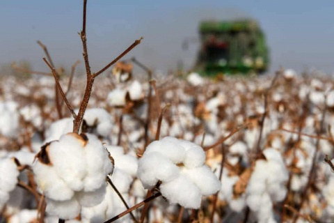 Xinjiang: more than half a million forced to pick cotton, report suggests