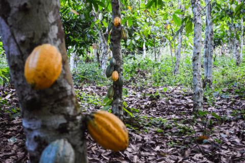 Cocoa plantations in Ghana, 2013