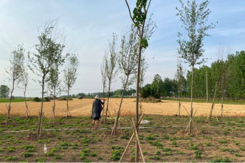 Seasonal agricultural workers plant peanuts next to wheat fields in China's Henan province. With tens of millions of urban and factory jobs lost, many of the newly unemployed have returned to their rural villages. Amy Cheng/NPR