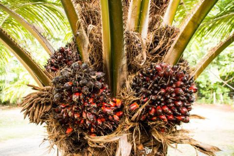 pic-palmier-a-huile.jpg